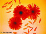Color Infrared Photograph of Gerber Daisies